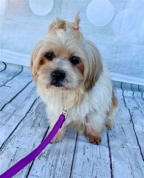 Shih Tzu and Lhasa Apso mixed Rescue Dog for Adoption in