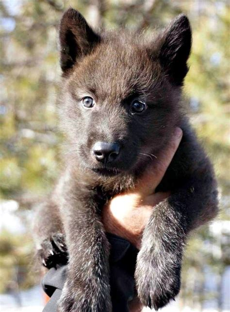 Wolf Pup Gets a New Home in Colorado - ZooBorns