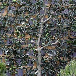 Pin on Gardening - Cordons, Espaliers and Fans