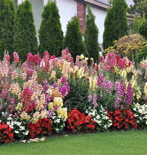 Sow some snapdragon Rainbow Mix seeds – West Coast Seeds