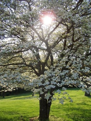 Dogwood Tree Facts - Everything You Need To Know About