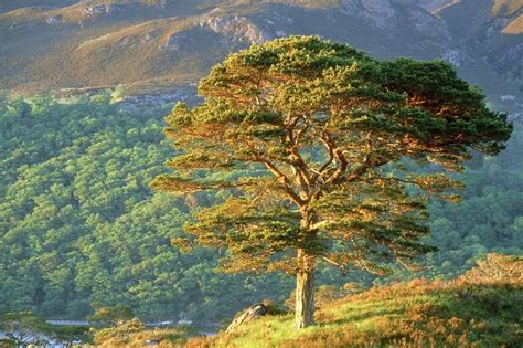 Scots Pine (Scotch Pine) Tree Properties and Facts