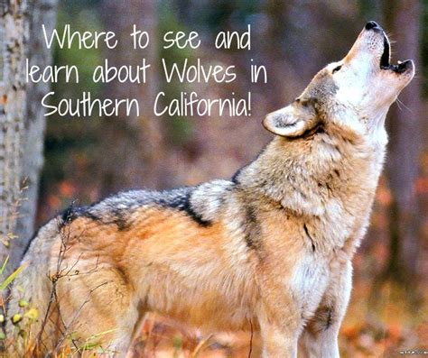 Visit a Wolf Sanctuary in Southern California - SoCal