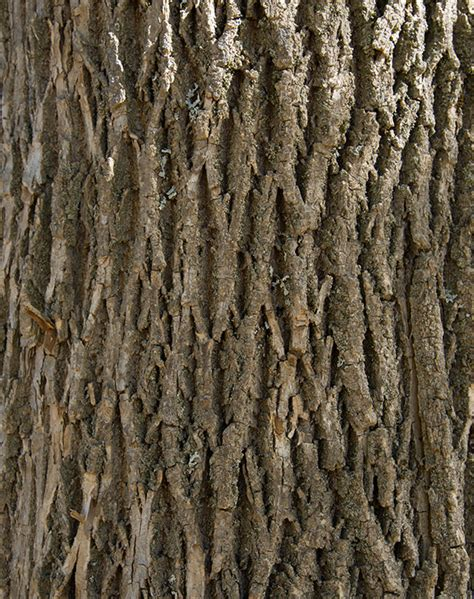Green Ash - Self-Guided Walking Tours - University of Maine